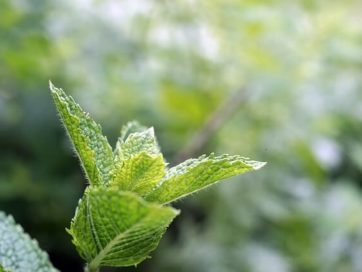 12 Helpful Peppermint Oil Uses and Benefits